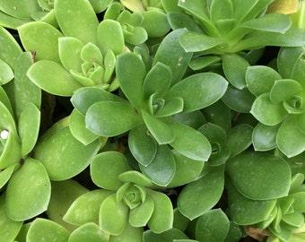 Succulent, Orostachys malacophyllus - Dunce Cap Plant