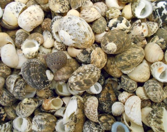 "25 Mixed Nerita Shells Seashells 1/2""-3/4"" (12-18mm) Craft Aquarium Decor Beach."