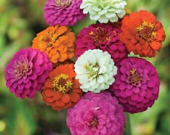 Zinnia Dahlia Flowered Mix (200 thru 1 pound seeds) butterfly cut tortoise ST08