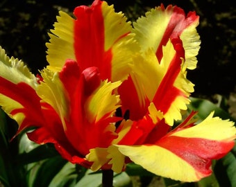 10 Tulip Bulbs - Flaming Parrot Tulip
