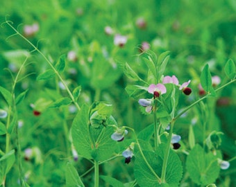 Cover Crop Soil Builder Peas/Oats Organic HEIRLOOM Seeds  Large Pack