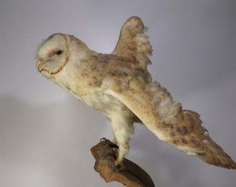 OWL barn naturalized, taxidermy - old taxidermy owl