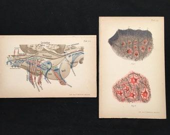 1899 Prints of the Brain - Medulla Oblongata, High-Quality German Lithographs