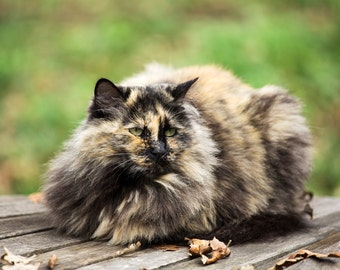 Kitty Cat (Maine Coon)