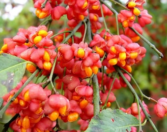 Euonymus Europaea Tree or Shrub, 15 Or 100 Seeds, Cold Hardy European Spindle