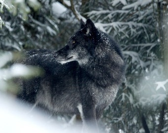 Reverie of Wolf