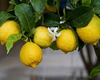 Lemon Essential Oil | 100% Pure Therapeutic Grade Essential Oil | 1/2 oz (15ml)