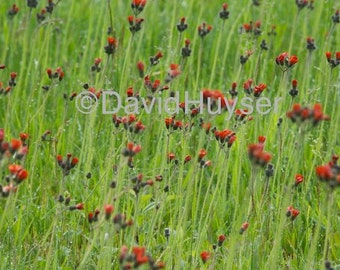 Indian Paintbrush / What your eye sees