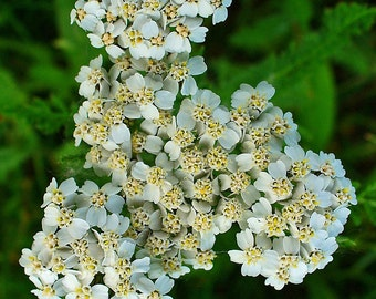 Yarrow flower in bulk - 200gr for herbal tea bag. Saniplante