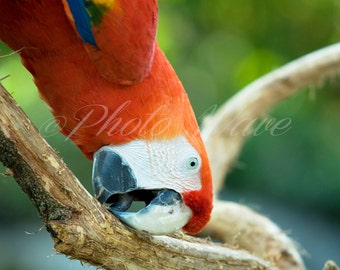 ANIMALsoul SCARLET MACAW: the Scarlet Macaw-red parrot, fine art photography, fine art, nature photography, wonderfull nature, bird photos