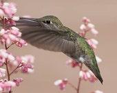 Hummingbird, Nature Photo...