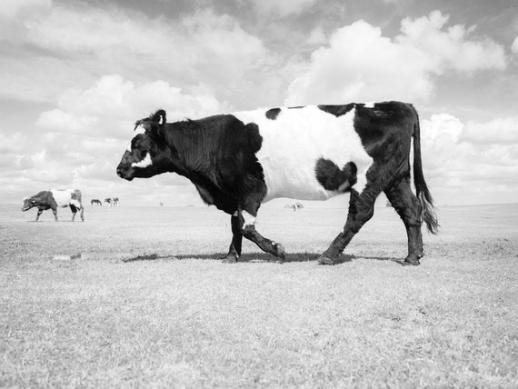 NEW FOREST COW. Cow Print, New Forest Picture, Black and White Print, Cattle Picture, Limited Edition, Photographic Print.