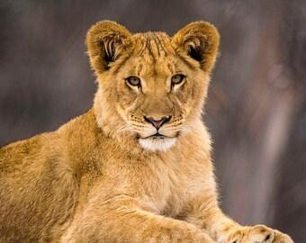 Lion Cub, profile