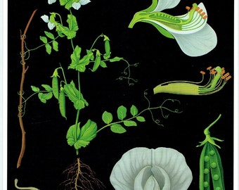 Old School Botanical Poster Pea, Plant, Flower Jung-Koch-Quentell; 1990 Interior decoration, deco vintage 21 x 29cm apprx, 8.26 x 11,41 inches