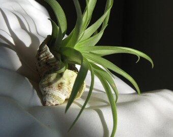 Leafy green tillendsia (air plant) in seashell