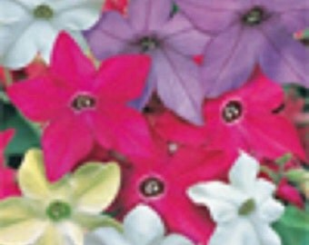 50+ Nicotiana Fragrant Delight Mix / Annual Flower Seeds