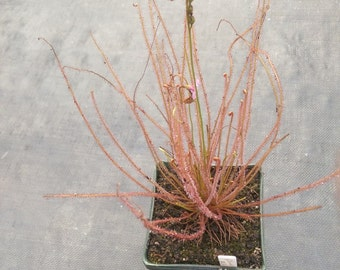 Tropical Drosera Sundew Carnivorous Plant D Filiformis Fl Red 15+ seed pack