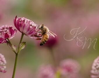 Bee on Ruby Wedding Masterwort Fine Art Print 2