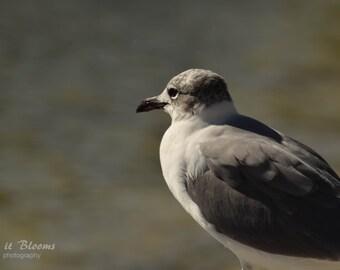 Seagull Bird Nature Photography Fine Art Wall Print Grey Gray