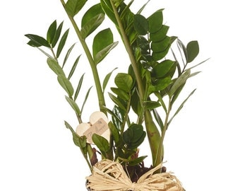 The Flower Rooms - Zamiifolia House Plant