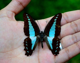 Real butterfly - Spread/Mounted Graphium sarpedon, beautiful butterfly, blue butterfly, real insects, taxidermy butterfly