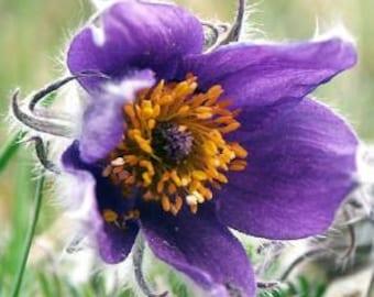 Pulsatilla Vulgaris, Pasque Flower 10 Seeds-Ornamental