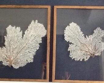 Pair Framed Sea Fans - White