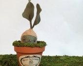 Wee Screamer -Fresh Mandrake Root