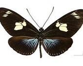 Heliconius doris aristomache Real Butterflies, Spread for your project or laminated or unmounted