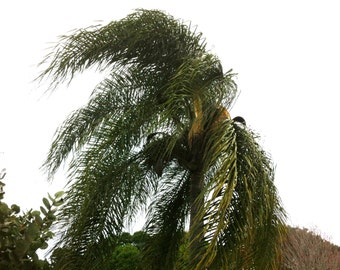 Palm Tree in the wind digital download free use