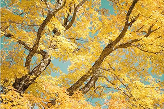 Autumn Landscape Photography, Gold  Maple Tree Photo,  New England Wall Decor, Rustic Decor
