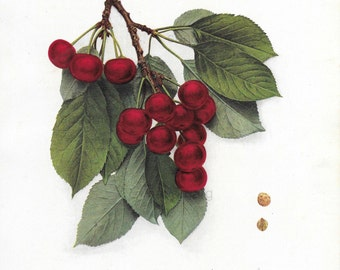Red Cherry Fruit George Glass New York Chromolithograph Botanical Print