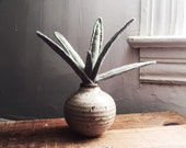 two-toned succulent plant, in vintage pottery.