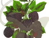 Blackberry Digital Fruit Illustration Botanical Printable Clip Art Image Download