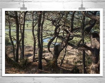 San Diego Art, Torrey Pines, Tree Photography, Nature Photography, Penasquitos Marsh, Art Photography, Forest Photograph, Woodlands Art