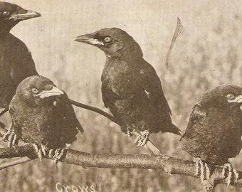 Crows postcard, Birds on tree branch,   Vintage Birds Postcard, Real photo  postcard