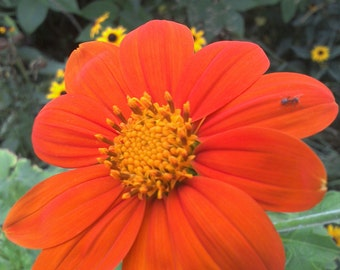 30 seeds mexican sunflower torch Free Shipping