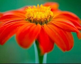 Organic Sunflower Torch - Golden Flower of the Aztecs Heirloom Flower Seeds