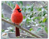 Red Bird Photograph Cardinal Fine Art Photo 8x10 Songbird Backyard Bird Trees Small Format Art for Any Room Under 30