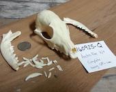 Arctic Fox Kit Skull - Vulpes lagopus -Project Skull-  Lot No. 160925-Q
