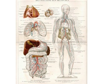 1894 BLOOD CIRCULATION SYSTEM original antique anatomy lithograph print - blood circulation
