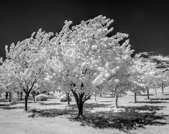Cherry Orchard Trees in Infrared Black and White or Sepia at the Cherry Point Farm Market near Shelby Michigan No.205 Landscape Photography