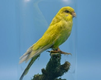 taxidermy of birds parrot Budgerigar,Budgie mounted with glass dome and base.