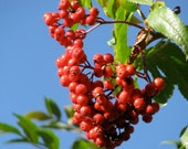 Digital Download Photo Ripe Mountain Ash Berries in the Idaho Mountains Home Office Decor