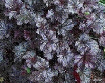 Heuchurea, Stormy Seas, flowering plant, live plant, more plants at www.etsy.com/ThePlantBoutique