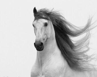Stallion's Glory II -  Fine Art Horse Photograph - Horse - Black and White - Horse Photograph -Andalusian - Fine Art Print