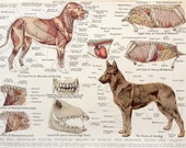Vintage 1950s Veterinary Dissection Print DOG Internal Organs CANINE Anatomy Print Alsation