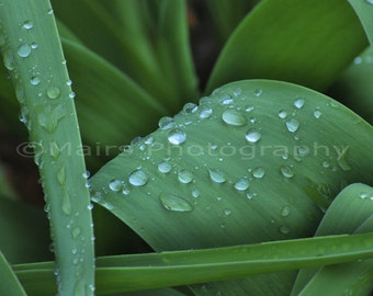 Cottage Decor Water Drops Leaves Green Dew Rain Serene Peaceful, Fine Art Photography, signed & matted Original Photograph