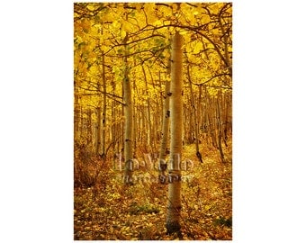Golden Aspen Photo, Honey Gold, Autumn Colors, Landscape Photograph, Nature Photography, Leaf, Fall Leaves