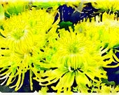 Watercolor Print - Yellow Chrysanthemums - introductory price